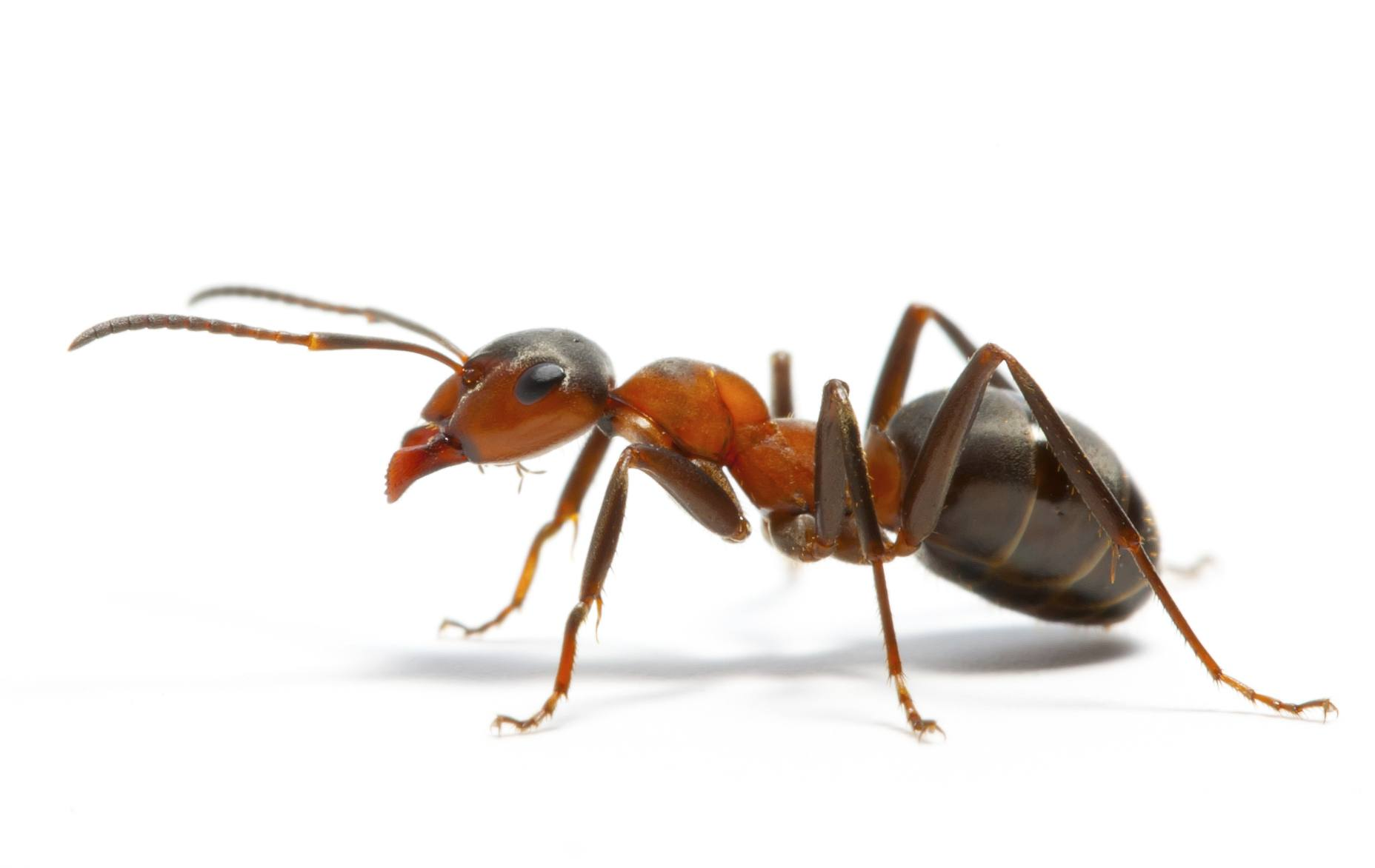 a-ant