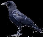 bird--crow