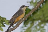 bird cuckoo