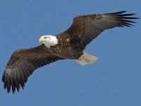 bird-eagle