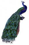 bird-peacock