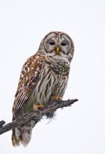 birds-owl