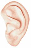 body parts--ear