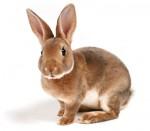 da-rabbit