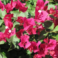 flower-bougainvillea