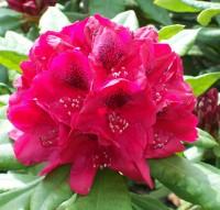 flower rhododendron