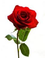 flower-rose