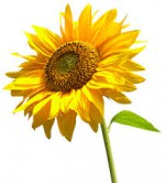 flower-sunflower