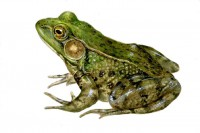 insect-frog