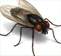 insect-housefly