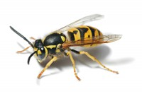 insect-wasp