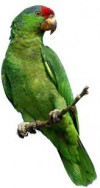 p- parrot