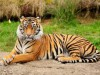 t-tiger